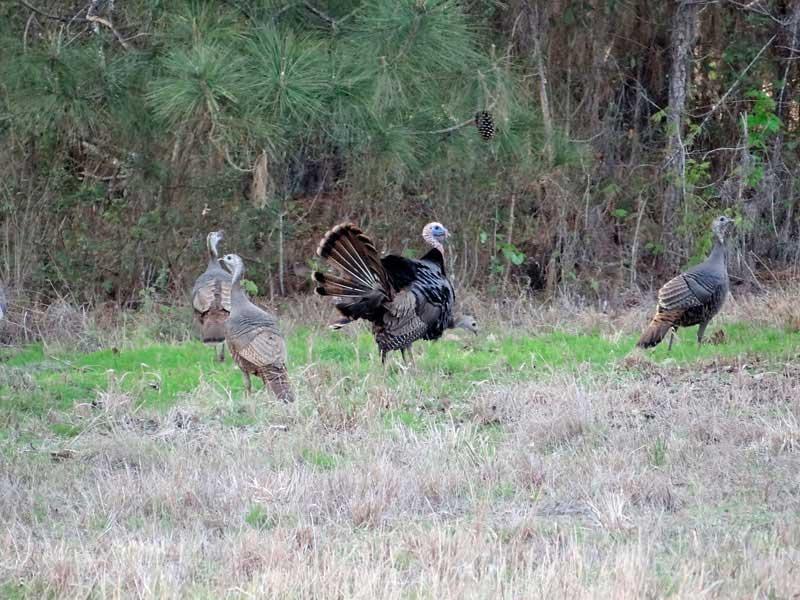 Osceola Turkey Hunting